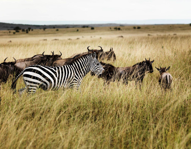 A zebra in the grass with wildebeest behind it